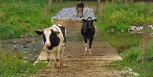 pa-cows-crossing-matt-kofroth_695x352
